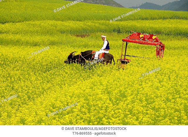 water buffalo cart traveling though fields of rape flower blossoms in Luoping China