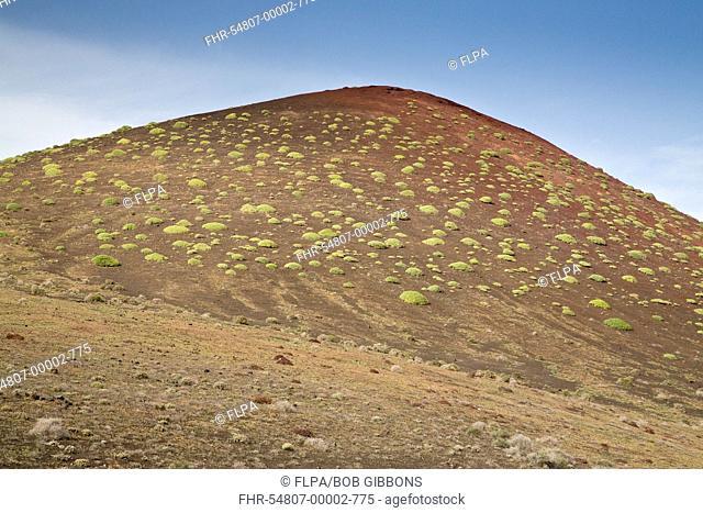 Balsam Spurge (Euphorbia balsamifera) habit, on cinder hill habitat, Montana del Golfo, Lanzarote, Canary Islands, March