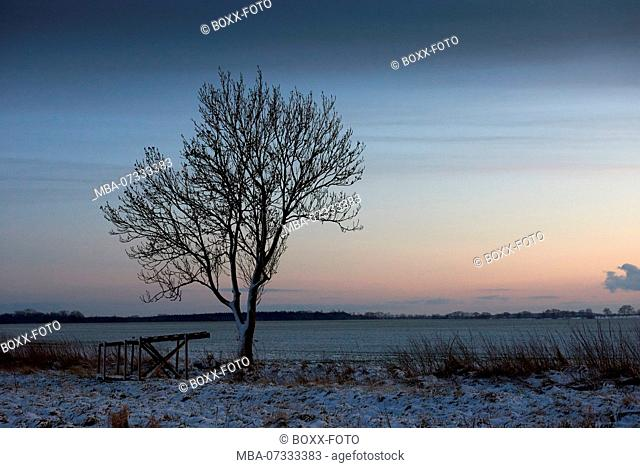 Mecklenburg-Western Pomerania, Grimmen, chestnut tree in the evening