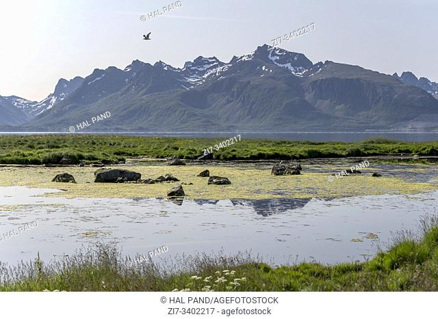 landscape with low tide green swamp on fjord shore, shot in bright summer light near Gjerstad, Langoya, Vesteralen, Norway