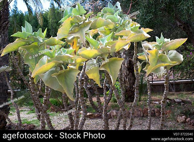 Elephant ear (Kalanchoe beharensis) is a succulent shrub endemic to Madagascar
