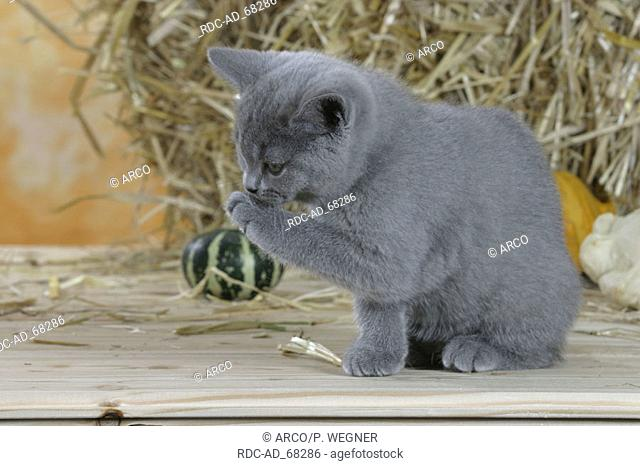 British Shorthair Cat kitten blue