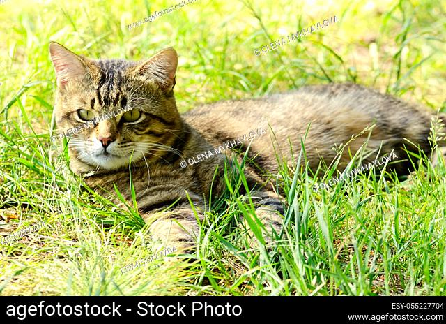 European Shorthair striped cat lying in the grass