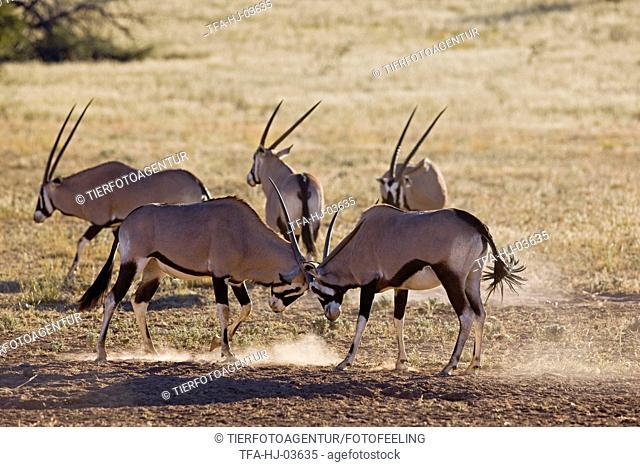 fighting gemsboks