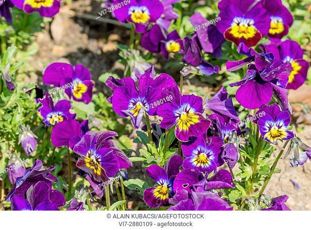 Sorbet Purple Pansy /Viola cornuta 'Sorbet Purple'