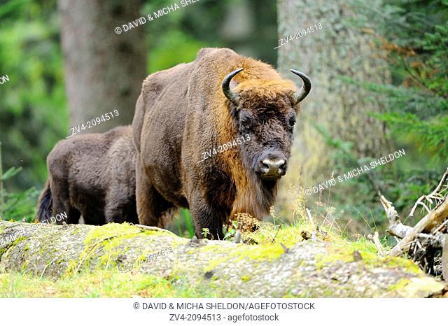European bison (Bison bonasus) in the Bavarian Forest National Park, Germany