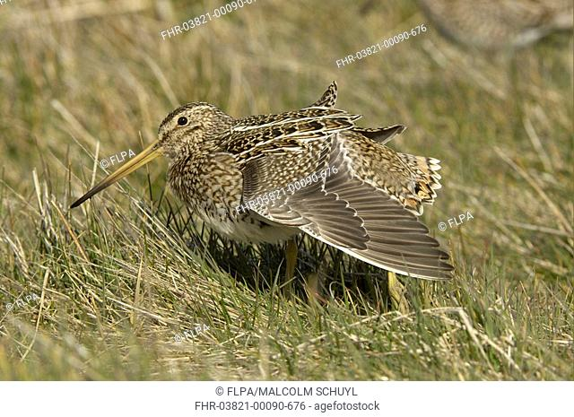 Magellanic Snipe Gallinago paraguaiae magellanica adult, wing stretching, Sea Lion Island, Falkland Islands