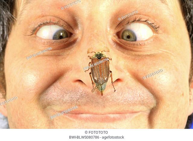 common cockchafer, maybug Melolontha melolontha, on human nose, Germany