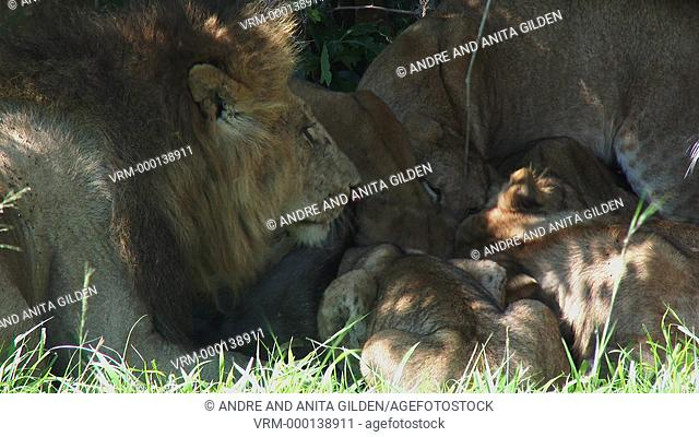 Lions (Panthera leo) family eating from killed Wildebeest