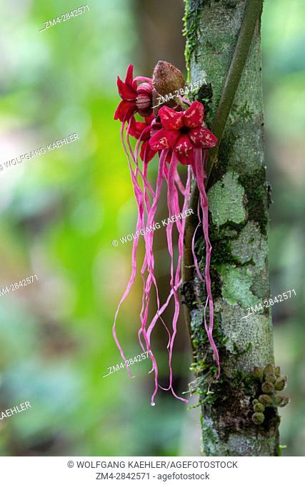 Flowers of a wild cacao tree in the rain forest near La Selva Lodge near Coca, Ecuador