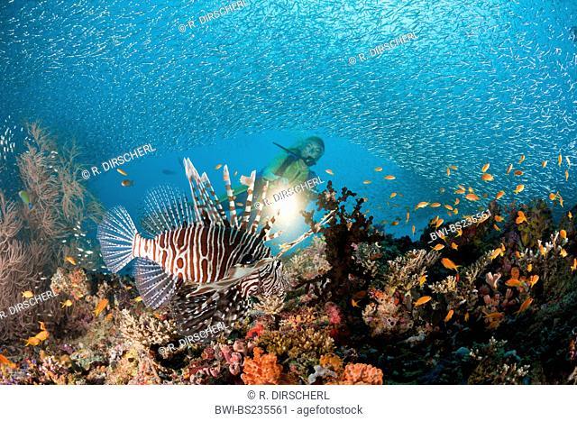 Lionfish (Pterois miles), at Coral Reef, illuminated by a diver, Maldives, North Ari Atoll, Maya Thila