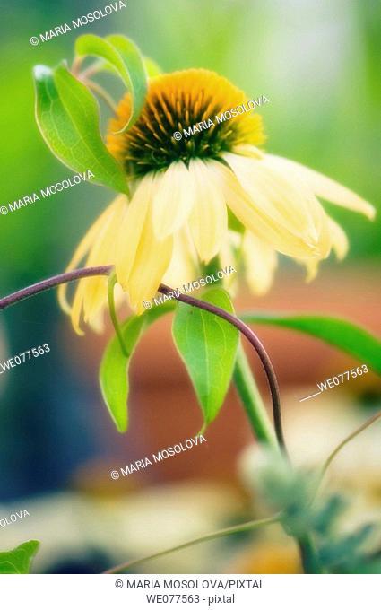 Yellow Coneflower. Echinacea hybid. July 2007, Maryland, USA