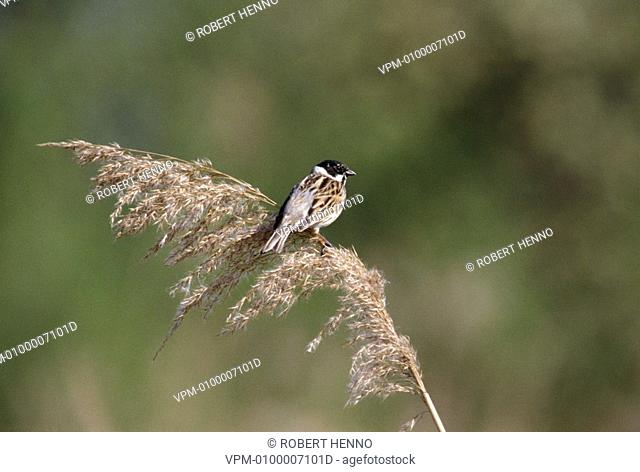 EMBERIZA SCHOENICLUSREED BUNTING - NORTHERN REED BUNTING COMMON REED BUNTINGMALE