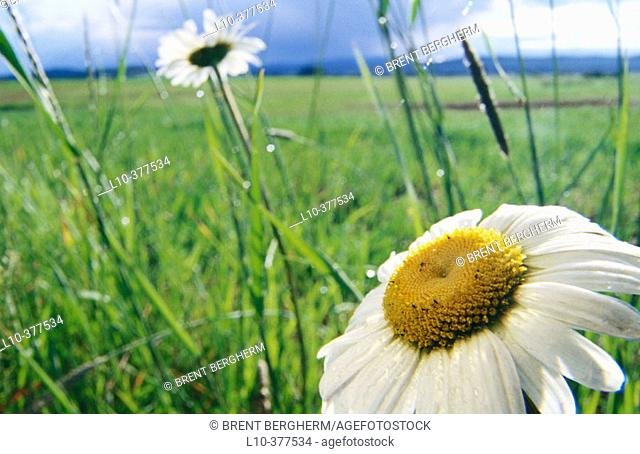 Daisy detail with field behind. Weippe Valley. Clearwater County. Idaho. USA