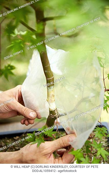 Air layering a bonsai maple tree, wrapping plastic sheet around trunk