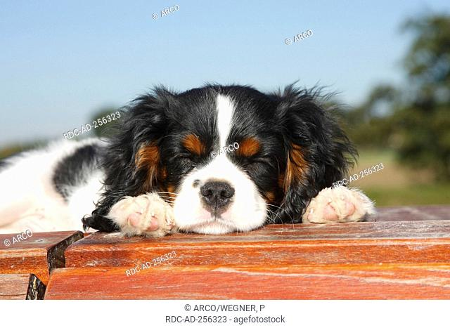 Cavalier King Charles Spaniel puppy tricolour 13 weeks