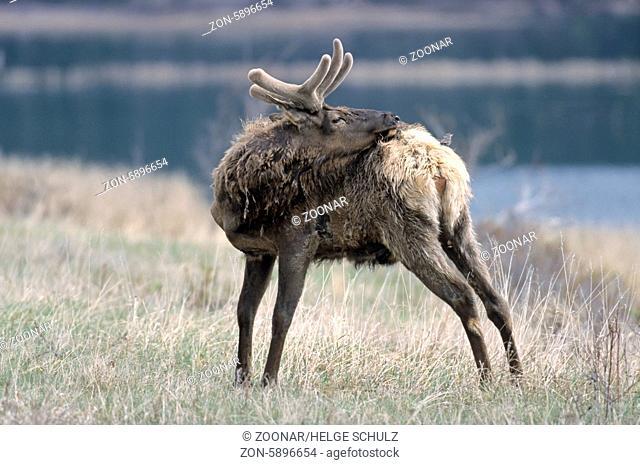 Wapitihirsch mir Braunkopf-Kuhstaerling auf dem Ruecken - (Wapiti-Hirsch) / Bull Elk with Brown-headed Cowbird on his back - (American Elk - Rocky Mountain Elk)...