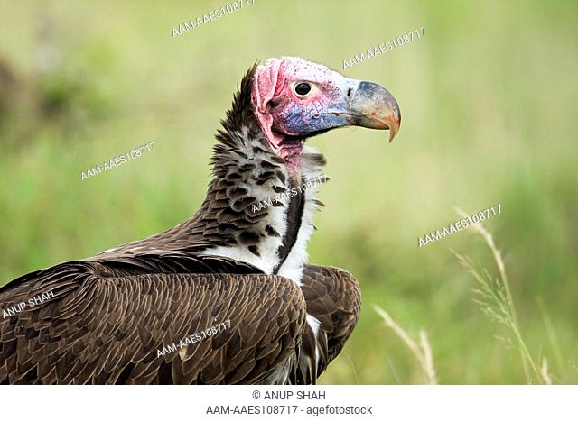 Lappet-faced vulture side profile portrait (Aegypius tracheliotus)Maasai Mara National Reserve, Kenya. Mar 2008