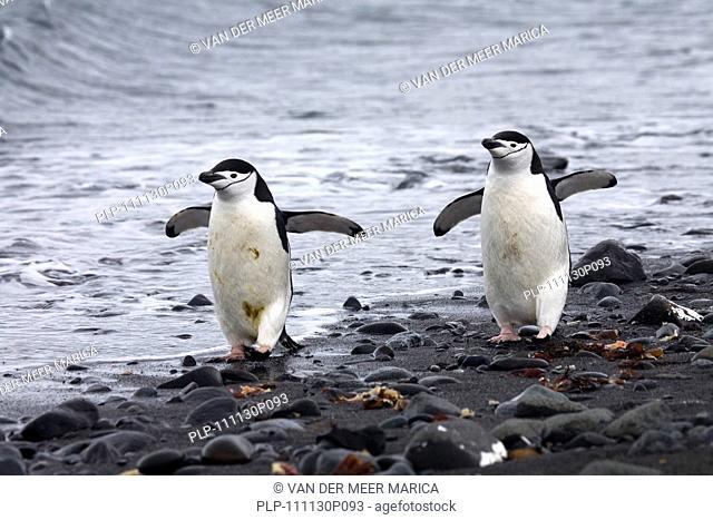 Two Chinstrap penguins Pygoscelis antarcticus walking on beach, Barrientos Island, South Shetland Islands, Antarctica