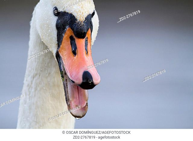 Portrait of Mute Swan (Cygnus olor) calling. Lower Silesia. Poland