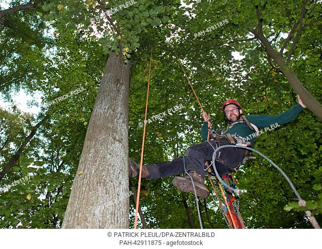 Cone picker Stefan Teschke climbs up into a Small-leaved Lime (lat: Tilia cordata) in the city forest in Prenzlau, Germany, 23 September 2013