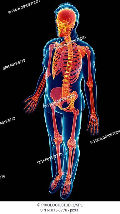 Illustration of male skeletal system