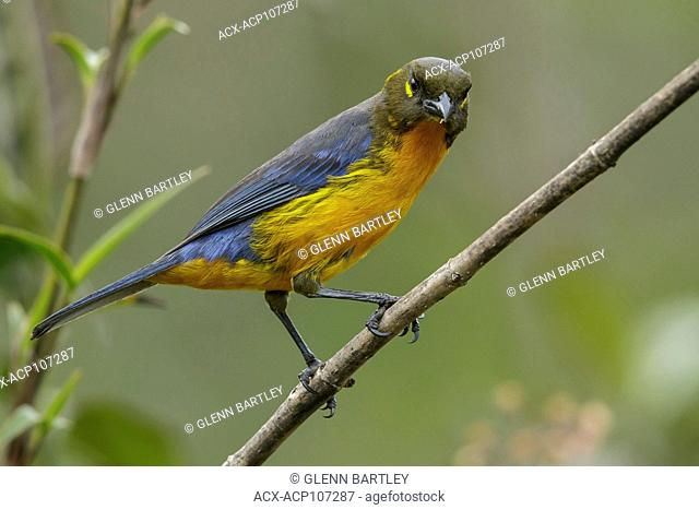 Lacrimrse Mountain-Tanager (Anisognathus lacrymosus) perched on a branch in the mountains of Colombia, South America