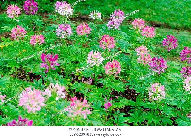 Garden flowers of Cleome with multi-colored