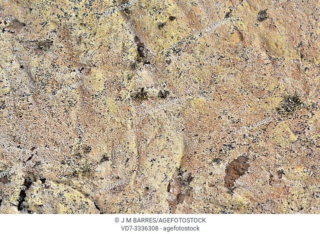 Pertusaria pluripuncta is a crustose lichen with apothecia. This photo was taken in Lanzarote Island, Canary Islands, Spain