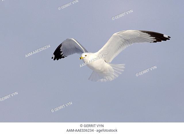 Adult Ring-billed Gull (Larus delawarensis) in breeding (alternate) plumage in flight. Ontario County, New York. February