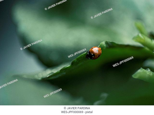 Wet ladybug on a leaf