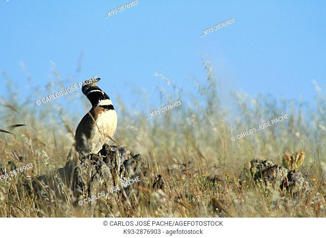 Little bustard (Tetrax tetrax). Llanos de la Serena, Extremadura, Spain
