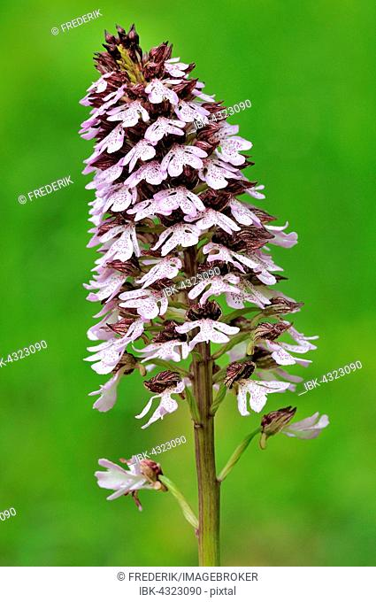 Lady Orchid (Orchis purpurea), orchid, Inflorescence, North Rhine-Westphalia, Germany