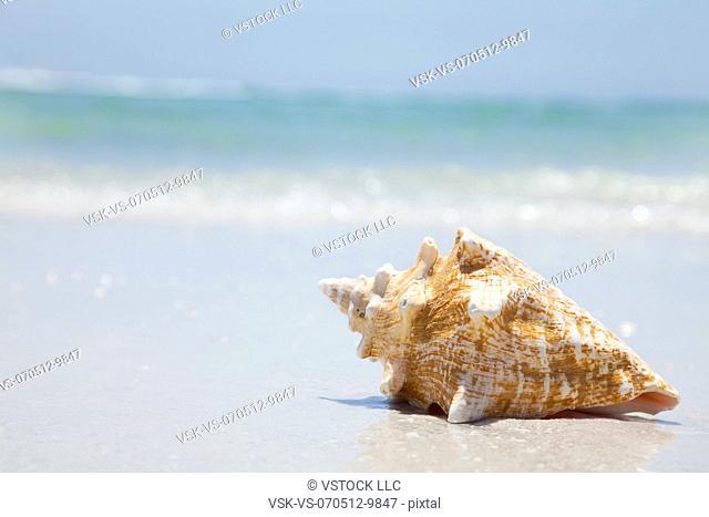 USA, Florida, St. Petersburg, conch shell on beach