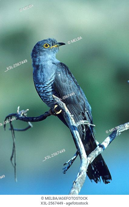 Cuculus canorus. Cuckoo. European bird