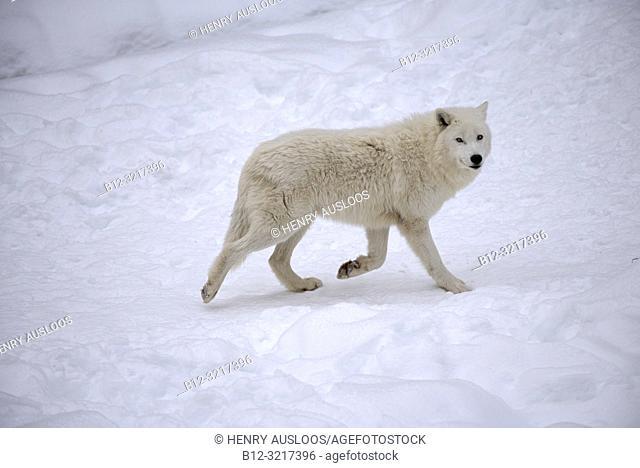 Arctic wolf in the snow (Canis lupus arctos)