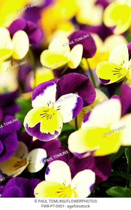 Viola, close up of the brightly coloured flowers