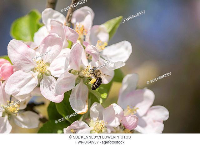 Apple, Malus domestica, Honey bee, Apis mellifera, pollinating apple blossom in a garden