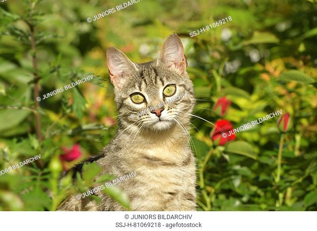 Domestic cat. Tabby juvenile sitting among roses in a garden. Germany