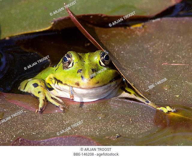Green Frog with prey