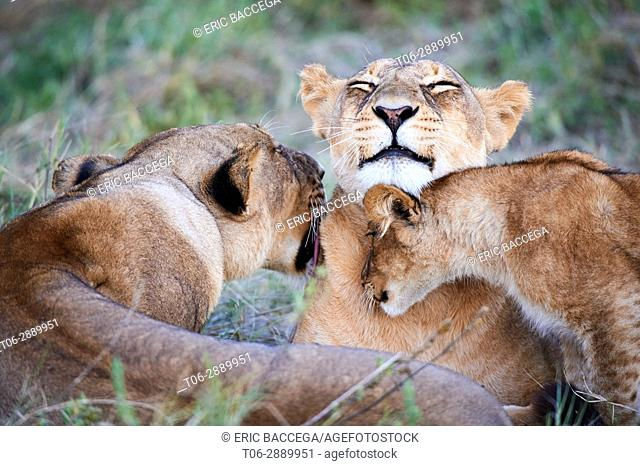 Lioness grooming and playing with cub (Panthera leo) Moremi National Park, Okavango delta, Botswana