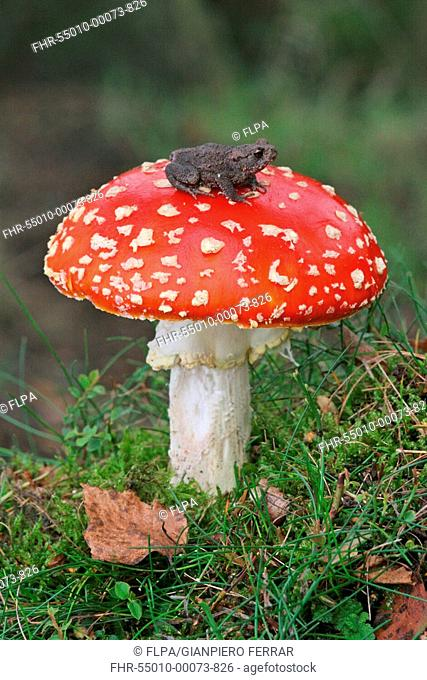 Fly Agaric Amanita muscaria with Common Toad Bufo bufo sitting on fruiting body, Charnwood, National Forest, Leicestershire, England, october