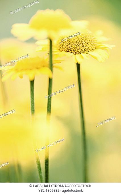 Macro shot of bloming yellow flowers growing in a meadow