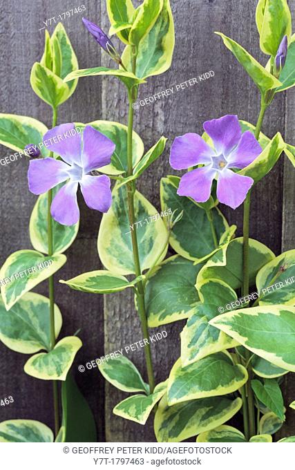 Vinca major 'Variegata'. Photographed in garden, UK