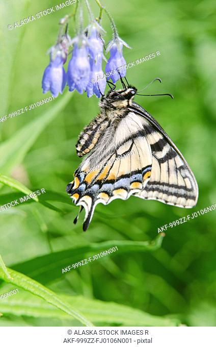 Canadian Tiger Swallowtail Butterfly feeds on a Chiming Bell, Fairbanks, Interior Alaska, Summer