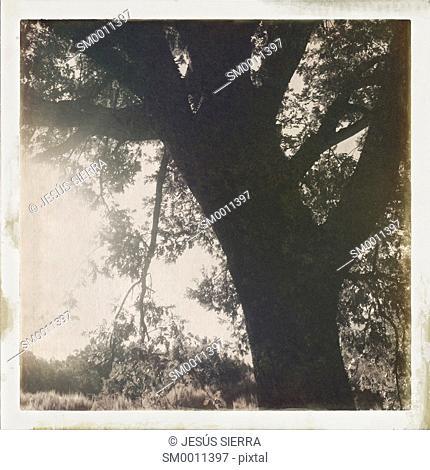 Tree in la Lobera, Navaluenga, Avila province, Spain