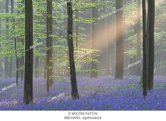 Bluebells (Scilla non-scripta / Endymion nonscriptus / Hyacinthoides non-scripta) in beech forest, Hallerbos, Belgium