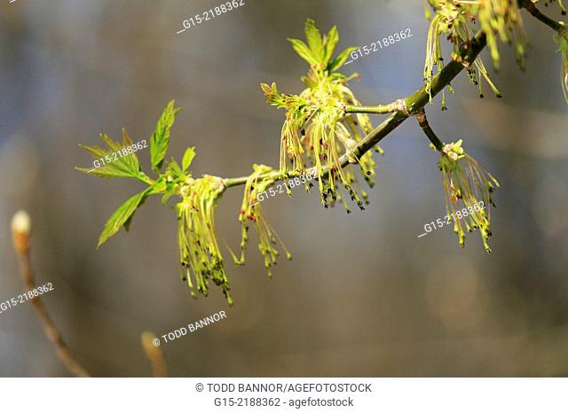 Box elder tree with male catkins