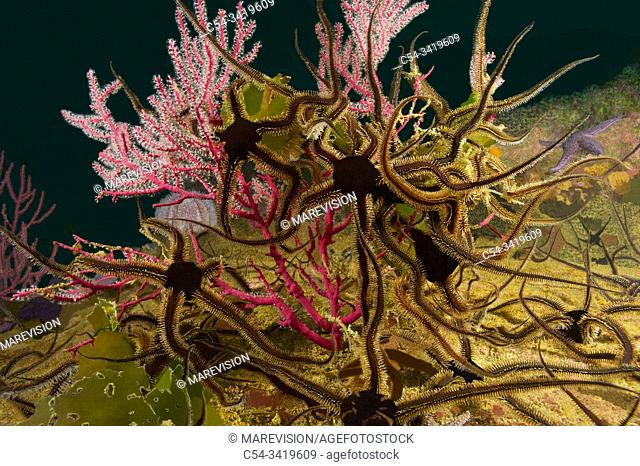 Grouping of Black brittle stars (Ophiocomina nigra) over Red sea fan (Leptogorgia sarmentosa) capturing the plankton. Eastern Atlantic. Galicia. Spain