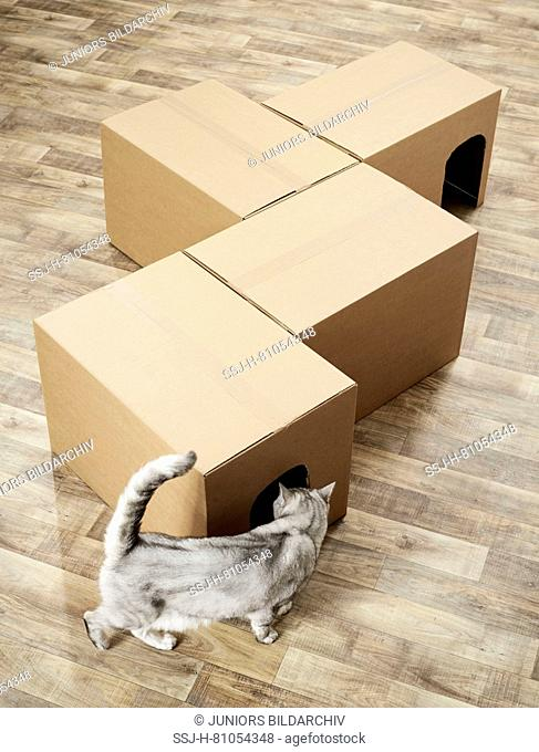 British Shorthair. Gray tabby investigating a self-made cardboard labyrinth. Germany